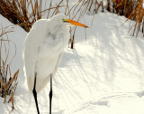 Egret Great D-013.jpg