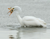 Egret Great D-017.jpg