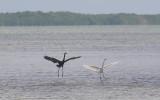 Ciconiiformes - Herons, Storks & Flamingos