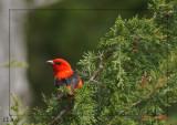 Piranga écarlate - Scarlet tanager