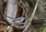 Gobemoucheron gris-bleu - Blue-gray Gnatcatcher