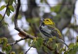 Paruline à gorge noire - Black-throated green Warbler