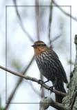 Carouge à épaulettes (femelle) - Red-winged Blackbird (female)
