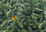 Paruline à gorge orangée - Blackburnian Warbler