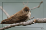 Hirondelle à ailes hérissées - Northern Rough-winged Swallow