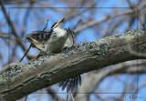 Pics chevelu - Hairy Woodpeckers