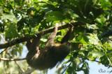 Paresseux à deux doigts - Linnaeus's two-toed sloth