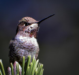 Humming bird holding pattern