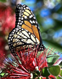 Monarch, Pacific Grove