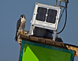 This Perrigrine falcon rests on  a Coast Guard navigation pole.