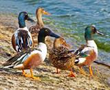 Shoveler Ducks