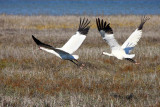 Whooping Cranes (M&F)