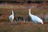 Whooping Cranes (Pair)