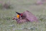 Lesser Prairie Chickens (Breeding)