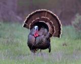 Wild Turkey (Southwestern)