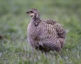 Lesser Prairie Chicken (F)