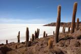 Incahuasi Island: Giant Cacti