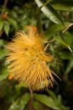 Botanical Gardens: Protea
