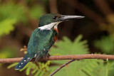 Green Kingfisher (todiramphus sanctus)