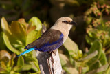 Blue-bellied Roller (coracias cyanogaster)