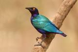 Purple Glossy Starling (lamprotornis purpureus)