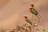 Red-throated Bee-eaters (merops bullocki)