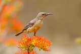 Beautiful Sunbird, female (cinnyris pulchella)