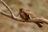 Hamerkop on Branch (scopus umbretta)