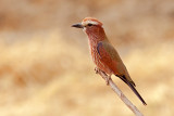 Rufous-crowned Roller (coracias naevius)