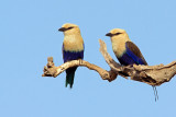 Blue-bellied Rollers