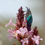 Splendid Sunbird Eating Nectar