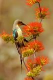 Beautiful Sunbird, male (cinnyris pulchella)