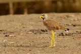 Wattled Plover (vanellus senegallus)