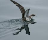 Bird in Flight Greater Shearwater