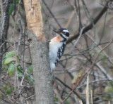 Hairy woodpecker with red on nasal tuft and breast