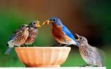 Bluebirds 2012