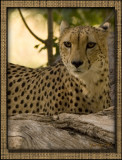 Cheeta: Spots in the Trees