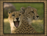 Cheetas: Two Brothers