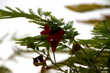 FIRST GULMOHAR FLOWER ON OUR TREE AT HOME  06 / 08 / 2011