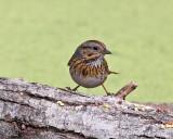 Lincoln Sparrow