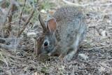 CottontailSylvilagus sp.South Llano River State Park