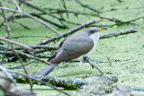 Cuckoos and Relatives
