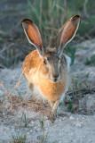 Black-tailed Jack RabbitLepus californicusRoberts Co., Texas