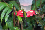 Violet-tailed Sylph andEmpress Brilliant