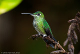 Green-crowned Brilliantfemale