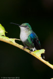 Green-crowned Woodnymphfemale