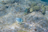 Four-eyed Butterfly Fish