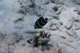 French Angelfish - juvenile