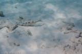 Spotted Goatfish and Slipperydick Wrasse