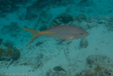 Yellow-tailed Snapper